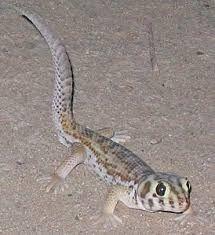 Продам сцинкового геккона