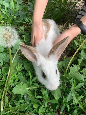 Продам кроликов породы великан