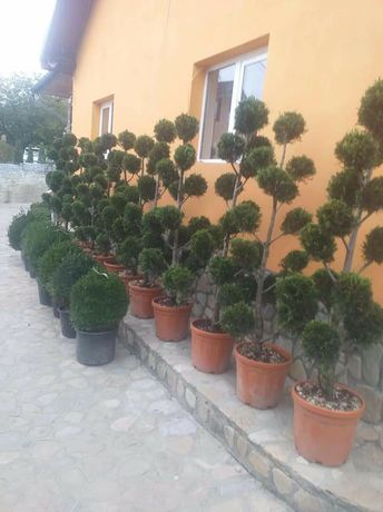Plante ornamentale tuia brazi mesteacăn gazon rulou