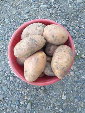 Продам картофель Согра