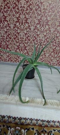Алоэ одно из самых удивительных растение для лечения