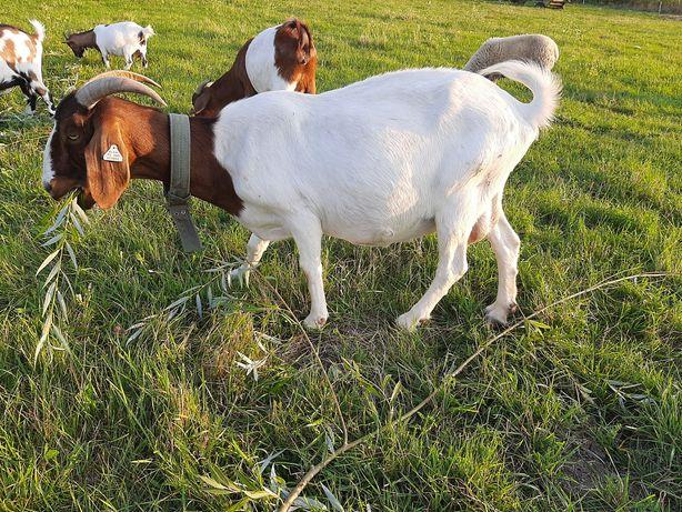 Vand două capre boier gestante ,două iedute boier de cinci luni