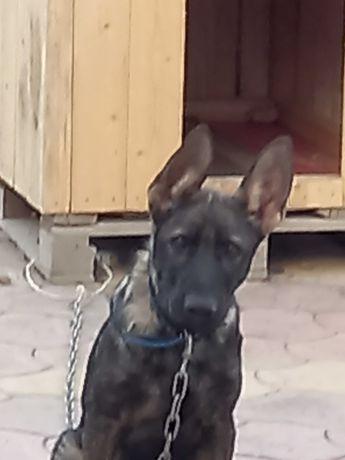 Продам собаку овчарка породы бельгийской Малинуа