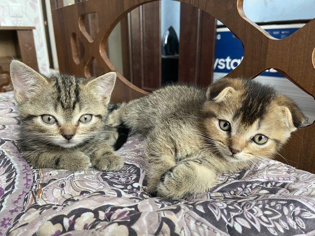Шотландские кошки, домашние