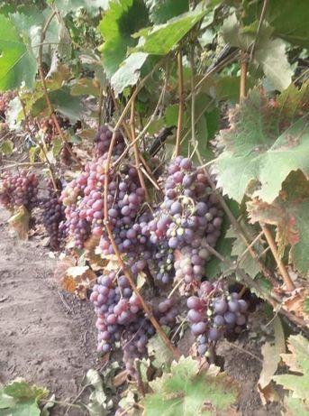 Struguri de vin 2021