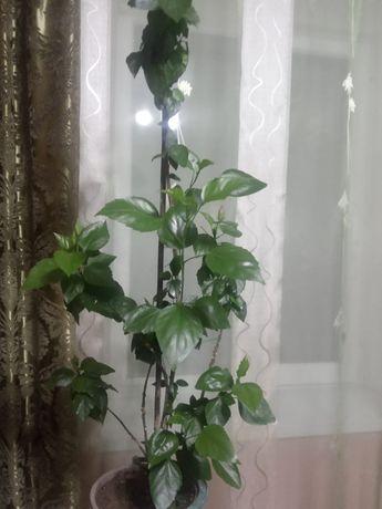 Продам цветы китайская роза итд