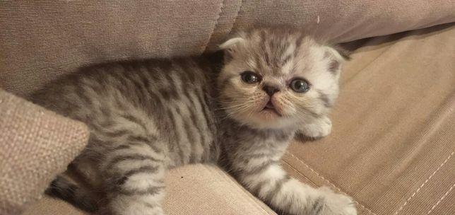 Шикарный котёнок шоу-класса!