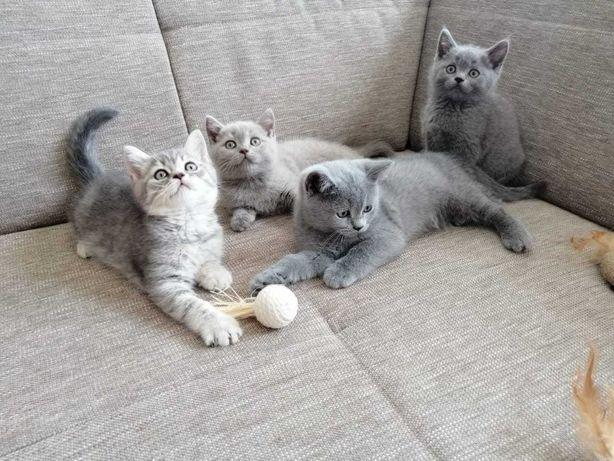 шотландские котята=3 мес
