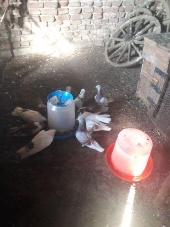 Продавам пощенски гълъби