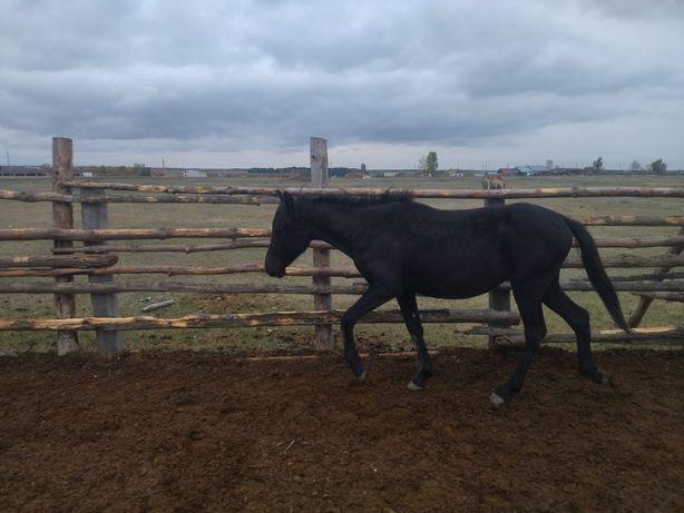Лошадь 2х летка ,(девочка)