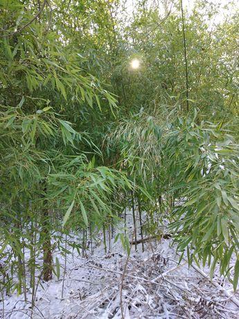 """Бамбук """"Phyllostachys aurea"""" СТУДОУСТОЙЧИВ  ВЕЧНОЗЕЛЕН"""