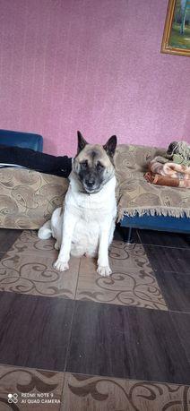 Продаю взрослую собаку породы Американская акита(девочка)