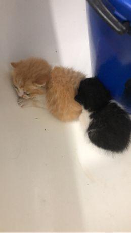 Отдам двух котят, забирать можно дней через 5