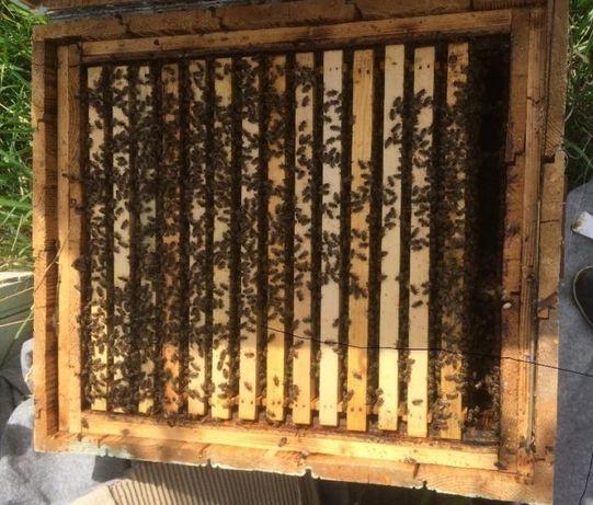 vand 100 familii de albine si roiuri