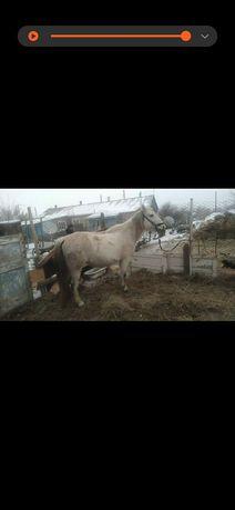 Лошадь продам .кобыла 8 лет, не беременная .( Буаз емес 8 жасар бие...