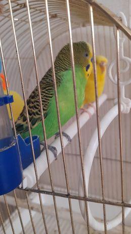 Продаю волнистый попугай,  в клетке 2 попугая