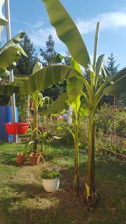 Banan de gradina