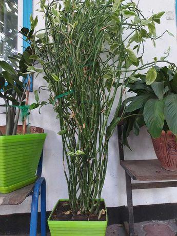 Педилантус комнатное растение