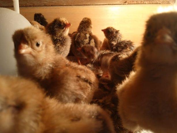 Кучинские цыплята (суточные)