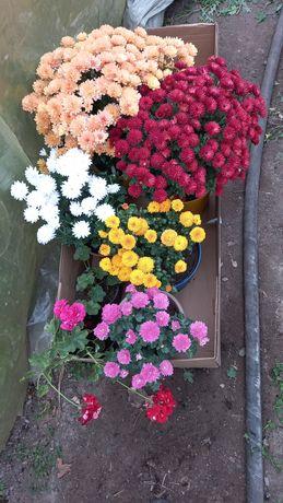 Продаю хризантемы мультифлора