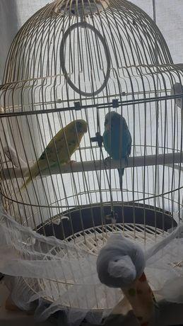 Продам попугаев мальчик и девочка с клеткой и кормом