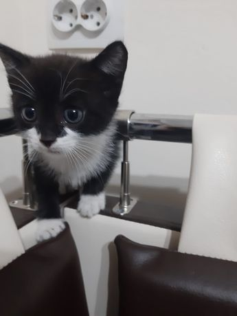 Котенок,1,5мес.девочка