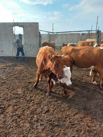 Продам корову и  телёнка