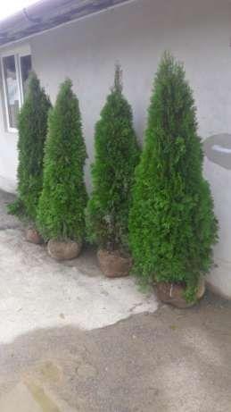 Tuia,Arbori si Arbusti ornamentali