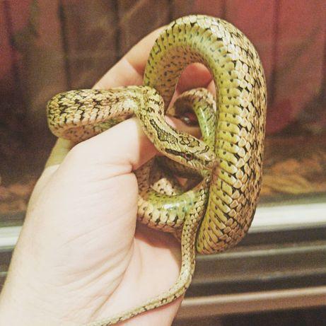 Змейка Узорчатый полоз