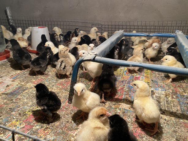 Цыплята домашних кур