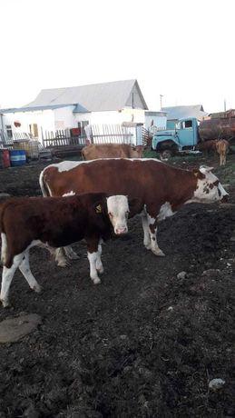 3 бас бузаулы сиыр корова