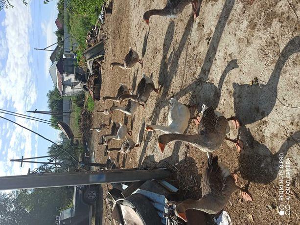 Домашние крупные серые гуси