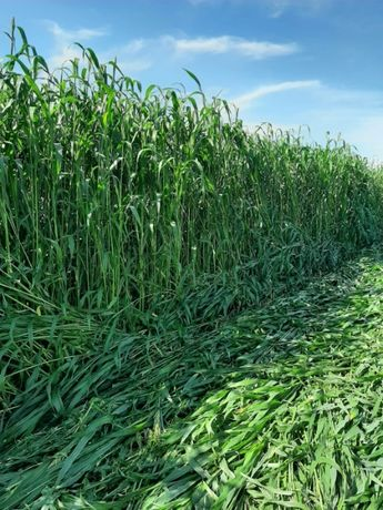 Samanta sorg si iarba de sudan, 2-3 coase/an, sol sarac/seceta, 25 kg