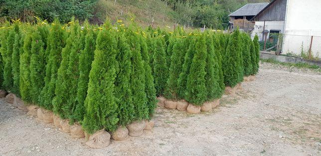 Plante ornamentale aclimatizate cu balot de pământ și gazon