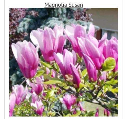 Magnolia puiet cu radacina