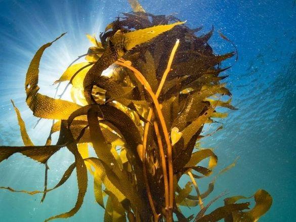 КЕЛП Кафяви морски водорасли на прах