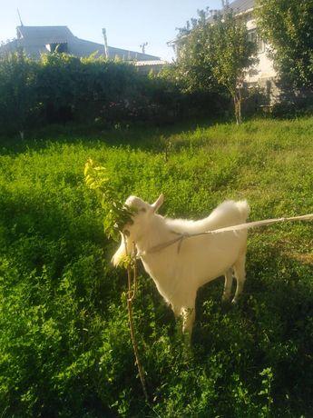 Кашырту теке! Покрытия для коз