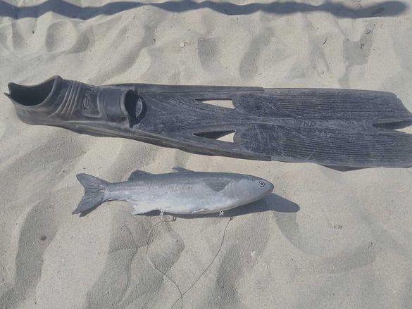 Мюре, риба примамка