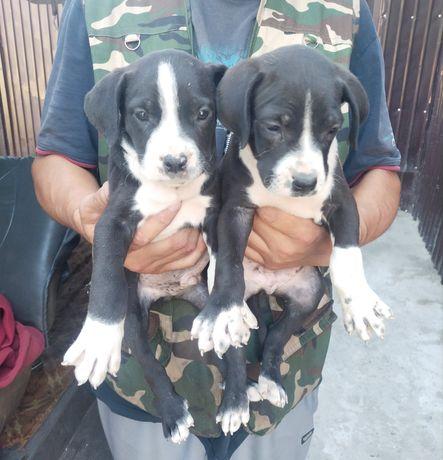 Продам щенков пидбуля