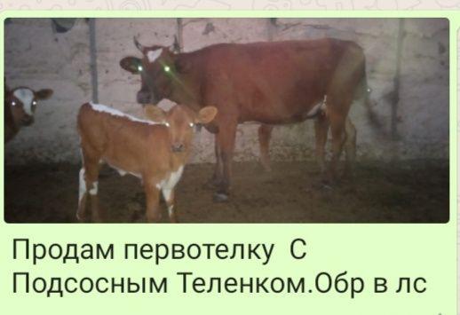 Продам перво телку с теленкам находится с Алимбет