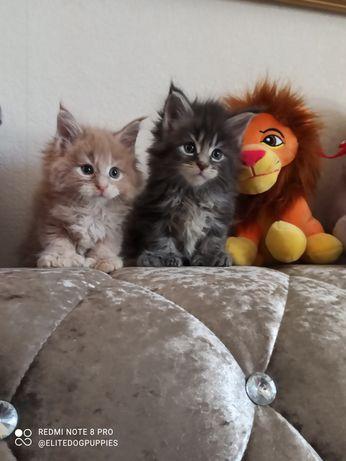 Шикарные котики Мейн кун полидакты