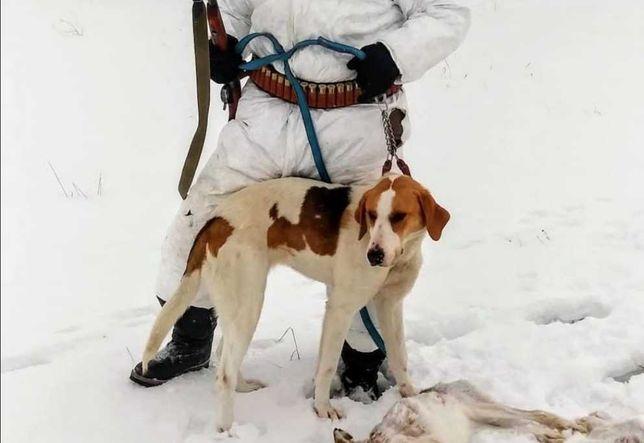 Русская охотничая собака гончая