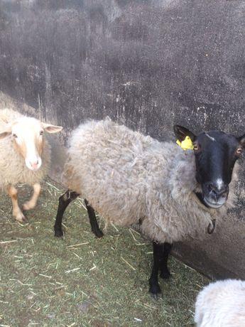 Романовская овца продается СРОЧНО!!!