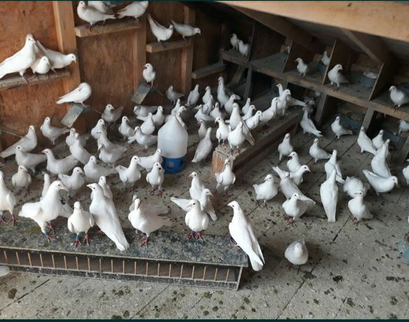 Vand porumbei voiajori albi
