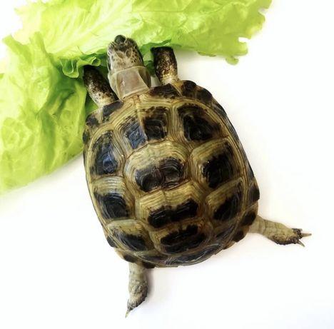 Черепаха сухопутная среднеазиатская