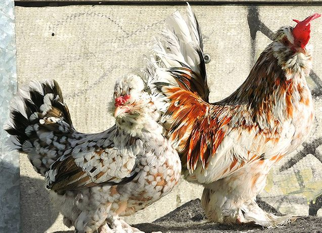 Инкубационное яйцо и цыплята породы Бентамка Алтайская.