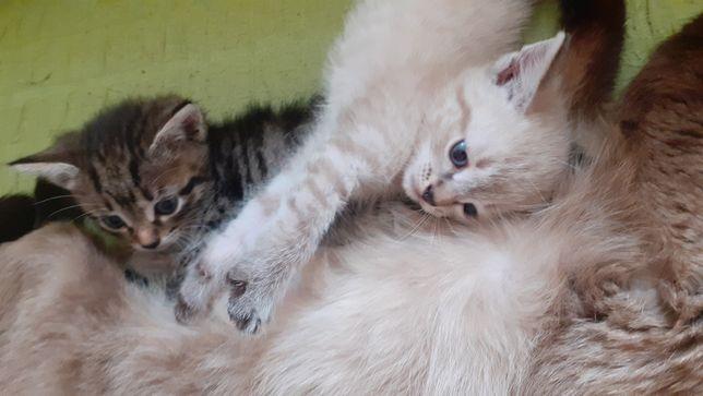 СРОЧНО Отдам котят в добрые руки!!! Девочки