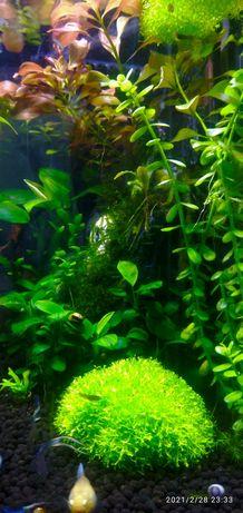 Риччи аквариумное растение