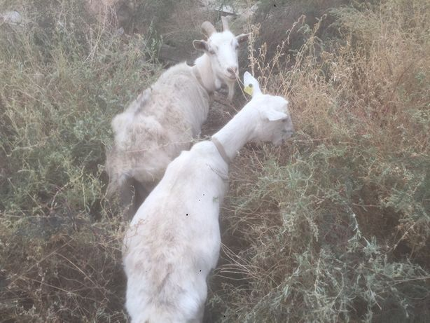 Зеленские козы