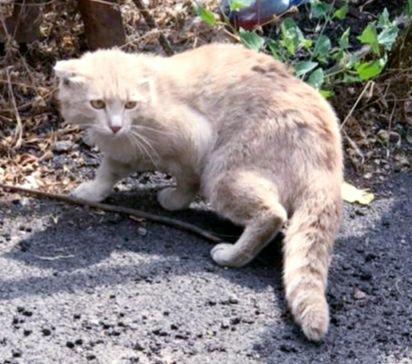 Найден вислоухий рыжий котик на Джумалиева и Гоголя